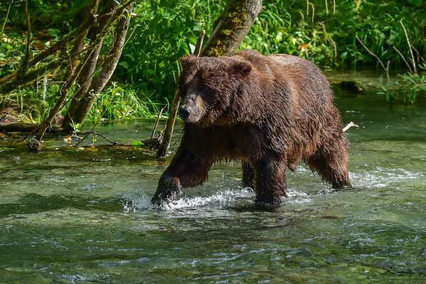 8-06-14 Grizzly Bear Called Dog Bear