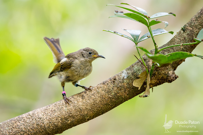 Stitchbird/hihi VU (NZ) - Female