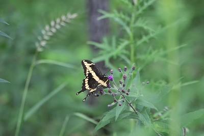 2014-08-07_Giant Swallowtail