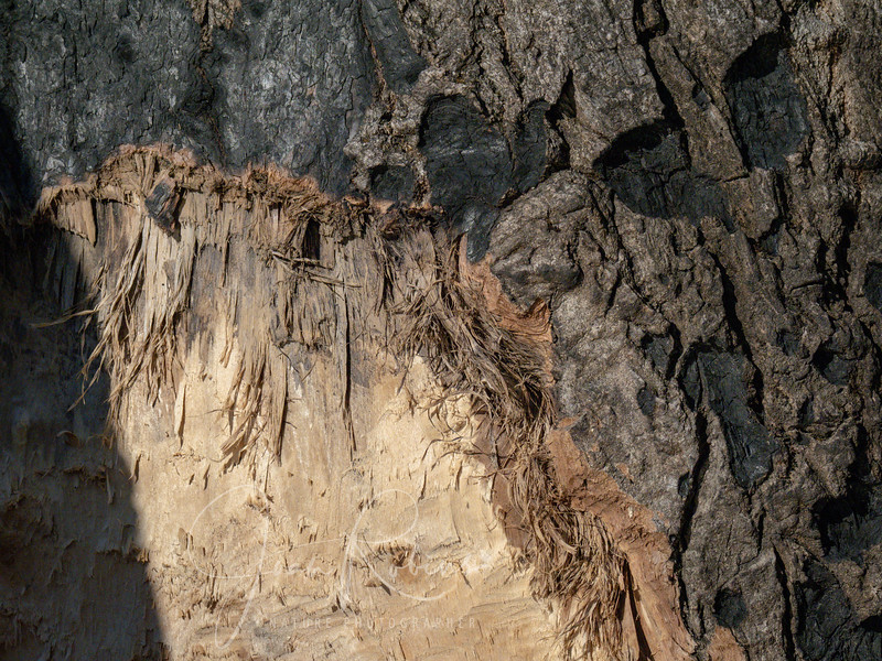 Do beavers chew on trees charred by forest fires? Yes!