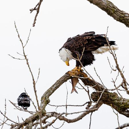 Mississippi River Birds (14Jan2018)