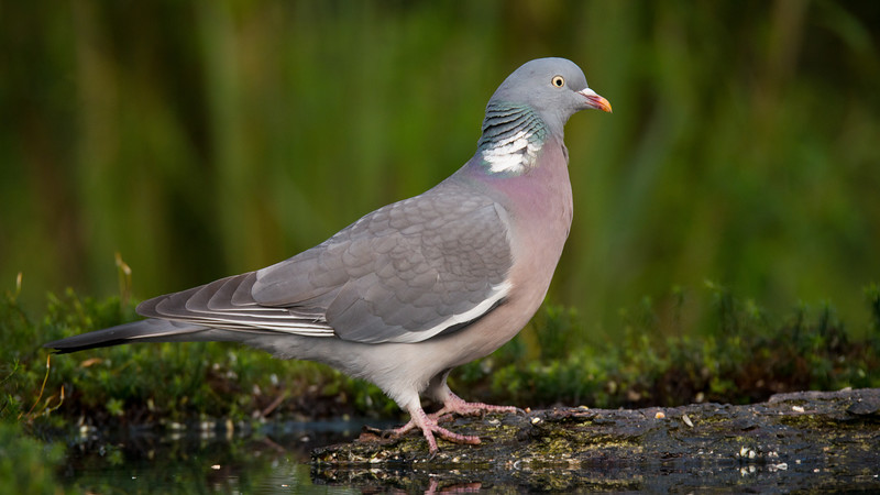 017_1850 Common Wood Pigeon, Columba palumbus.jpg