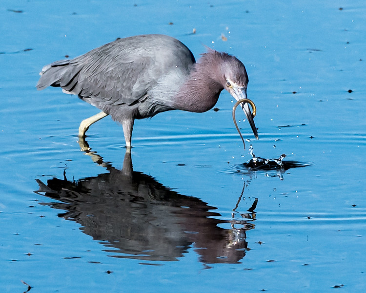 Little Blue Heron Eating 2