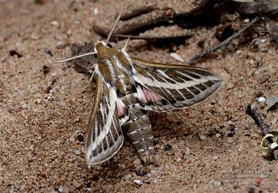 Hyles livornicoides (Common striped hawk moth)