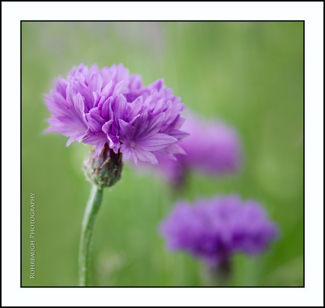 Rohrbaugh Photography Flowers 11.jpg