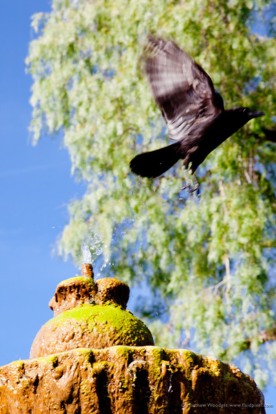 #106 - Taking flight. I was pleased to get what I was going for with this outside the Old Mission in Santa Barbra.
