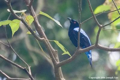 PITTAS, GERYGONE, FAIRY-BLUEBIRDS, LEAFBIRDS AND IORA