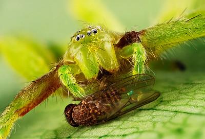Макропортрет зеленого паука-охотника Micrommata virescens и плодовой мухи Drosophila melanogaster.