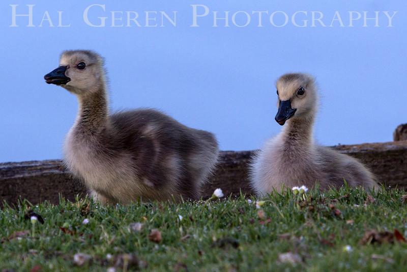 Goslings Newark, California 1304N-G5