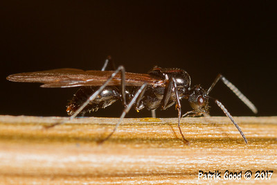 Winged Alate Ant