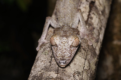 Giant Leaf Tailed Gecko