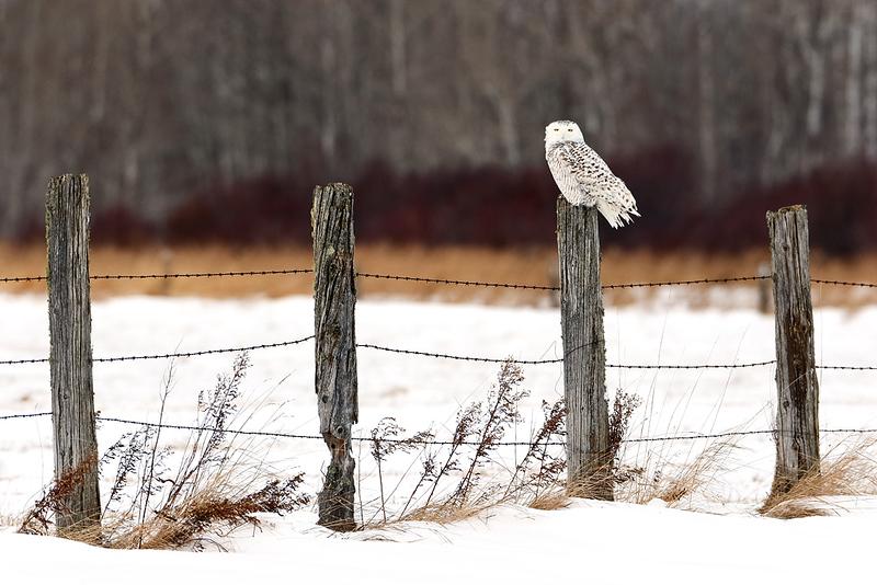 The Watchman - Snowy Owl (Upper Michigan)