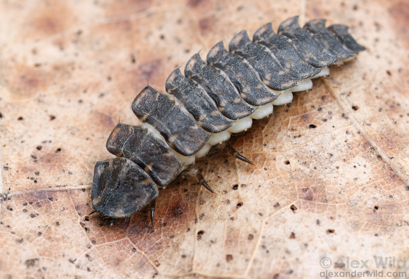 A firefly larva is armored for protection against predators.  Champaign, Illinois, USA