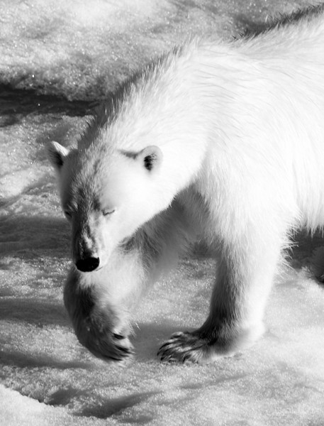 polar bear paw and head.jpg