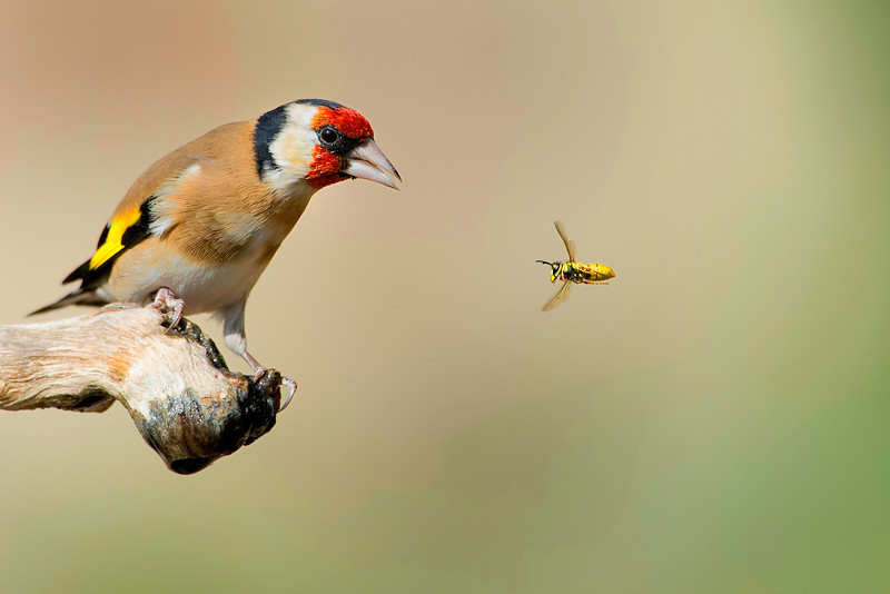Goldfinch and Wasp