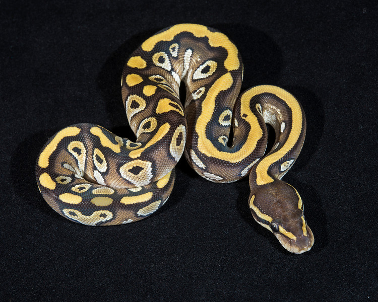 Mojave Het Ghost, F0114, sold, Lone Star expo