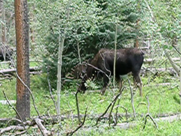 Moose.mov