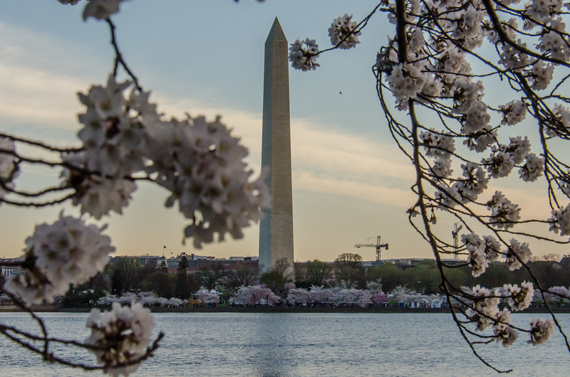 Cherry Blossom Tidal Basin Early Morning -24.jpg
