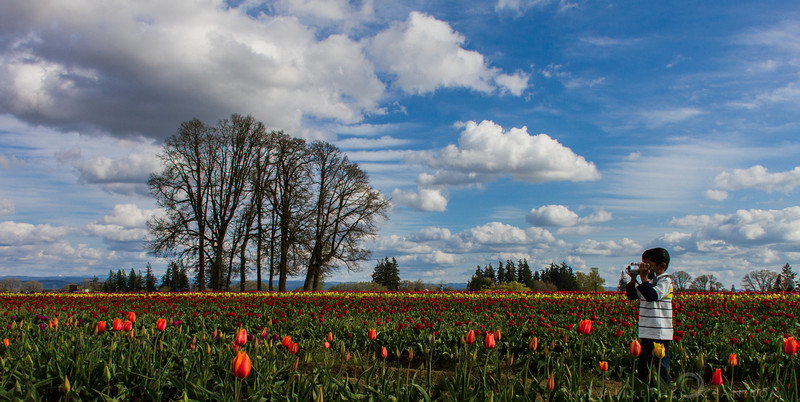 Little Explorer and Tulips