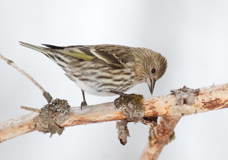 Pine Siskin Loretta's feeders Sax-Zim Bog MN IMG_3249.jpg