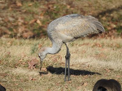 St. Louis Audubon Society Field Trip 02/04/17