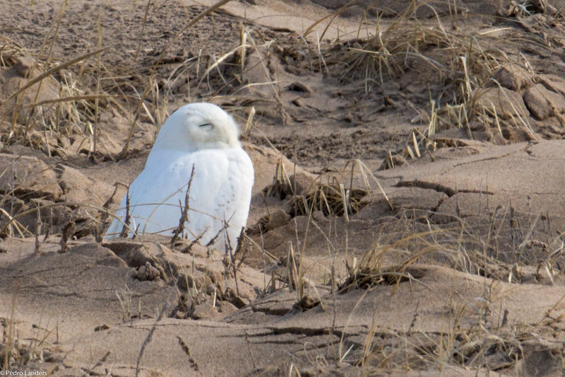 Snowy Owl in Profile