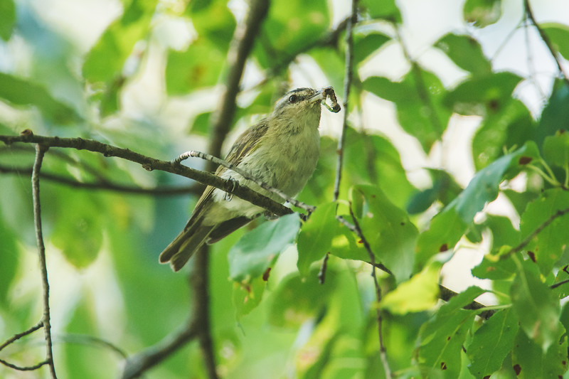 A red-eyed vireo at the Celery Bog in West Lafayette, IN