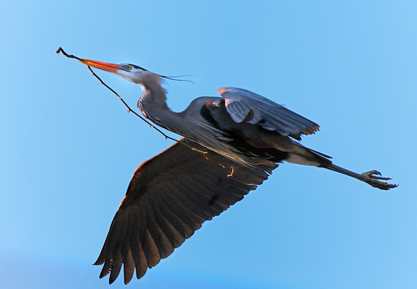 Spring Photo Walk  - Blue Herons