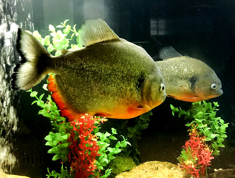 And this is a pair of flesh-eating Pirhanas.  (I-Phone photo by Carol.)