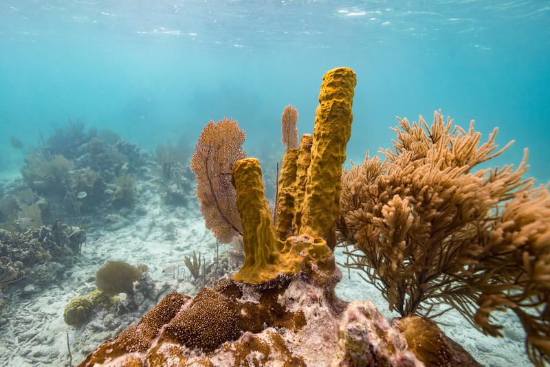 Corals underwater, Turneffe Atoll, Belize Barrier Reef, Belize