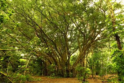 2011 Banyan Trees at Kawela Bay