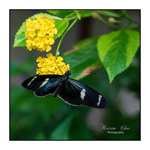 sm Black Blue White Butterfly.jpg