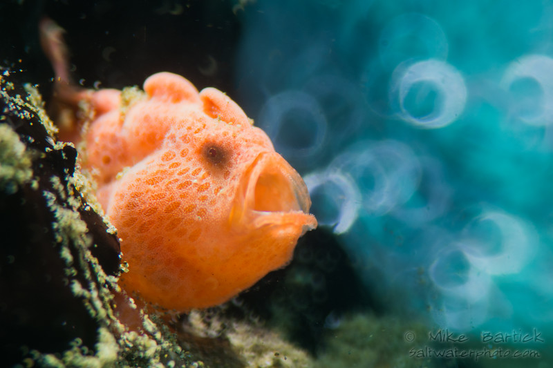 11-Soap bubble Yawning frogfish LF800N (1 of 1).jpg