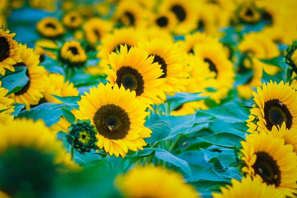 向日葵,迎着阳光