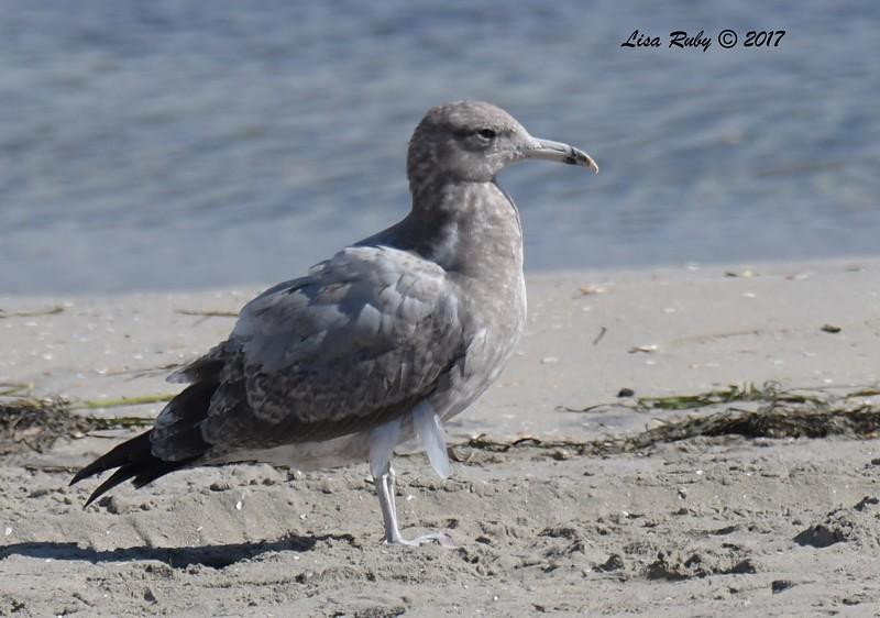 California Gull  - 11/10/2017 - Crown Pointe (east)