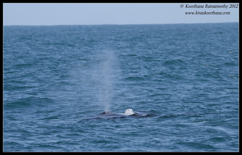 Humpback Whale spout, Whale watching trip, San Diego County, California, April 2012