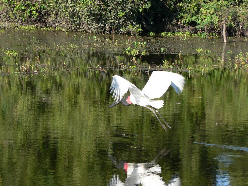 Jabiru stork in flight