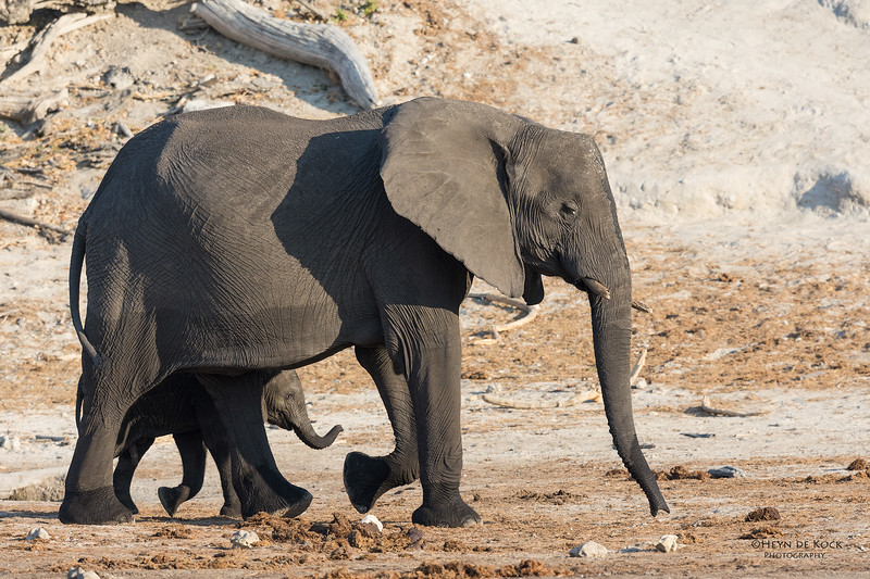 African Elephant, Chobe River, NAM, Oct 2016-6.jpg