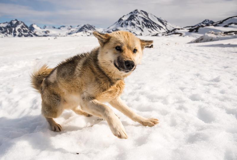 Playful sledge dog at Kulusuk, East Greenland