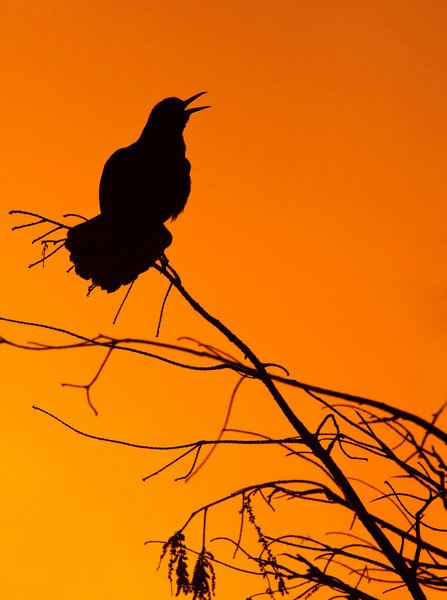 Boat-tailed grackle calling at sunrise