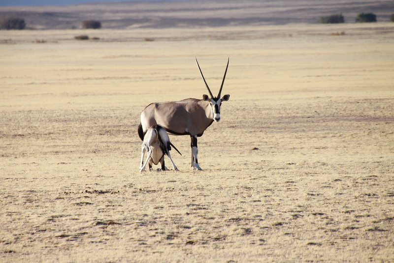 Oryx with nursing calf