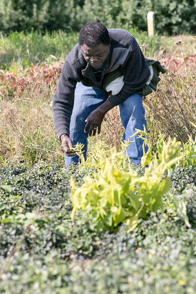 Labah Nformi, pictured, and his wife Pascalin Labah of Fitchburg work on picking huckleberries in their community garden at Sholan Farms in Leominster on Wednesday morning. SENTINEL & ENTERPRISE/JOHN LOVE
