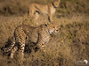 Cheetahs on the move in Ndutu