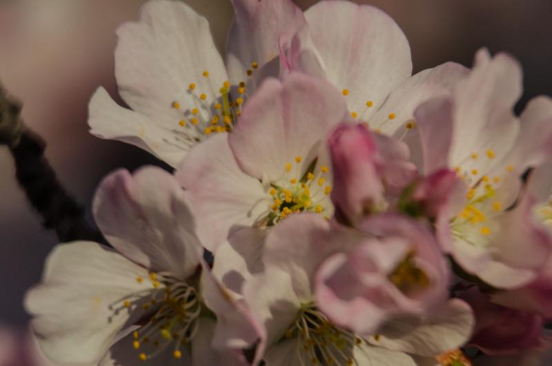 Cherry Blossoms at Sunrise-61.jpg