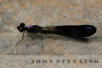 Sterling's Thailand Dragonflies
