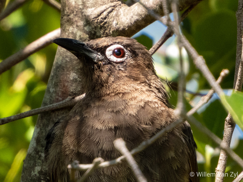 Cape Bulbul (Pycnonotus capensis) from Kirstenbosch Botanical Gardens, Cape Town