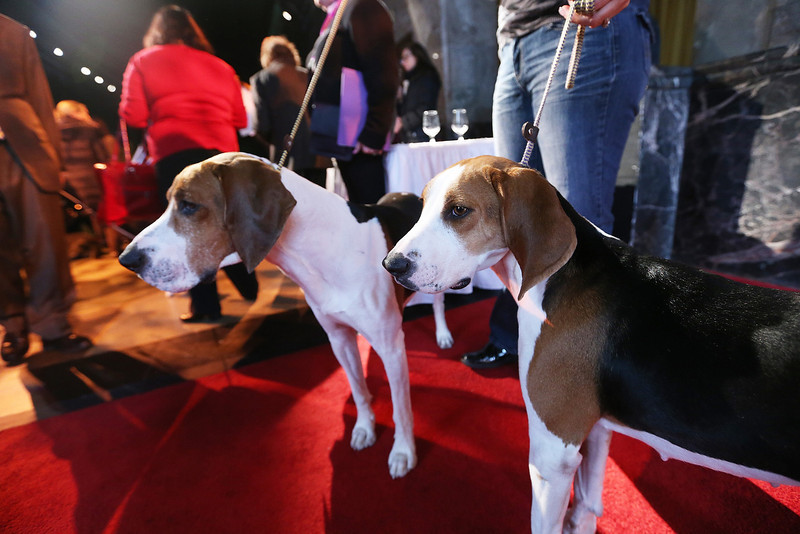 . Xcetera (L) and Meg, Treeing Walker Coonhounds, stand at a press conference kicking off the 137th Annual Westminster Kennel Club Dog Show on February 7, 2013 in New York City. The Treeing Walker Coonhound and Russell Terrier are new breeds to the show this year, which takes place February 11 and 12.  (Photo by Mario Tama/Getty Images)