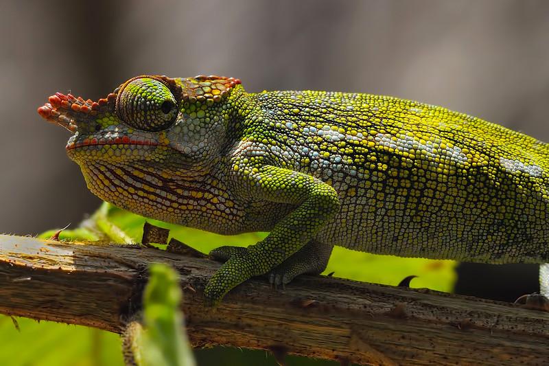 Tiny-Chameleon-Lake-Chala-Tanzania.jpg