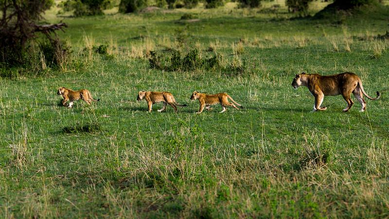 Lions-0139-2.jpg