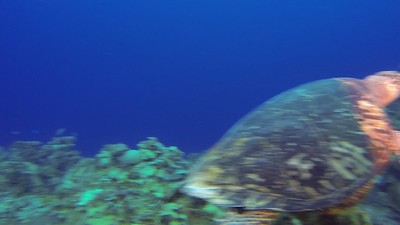 Turtle videos of Cayman Brac